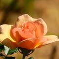 Photos: 今日観た風景 薔薇