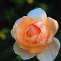 Photos: 今日観た風景 薔薇2