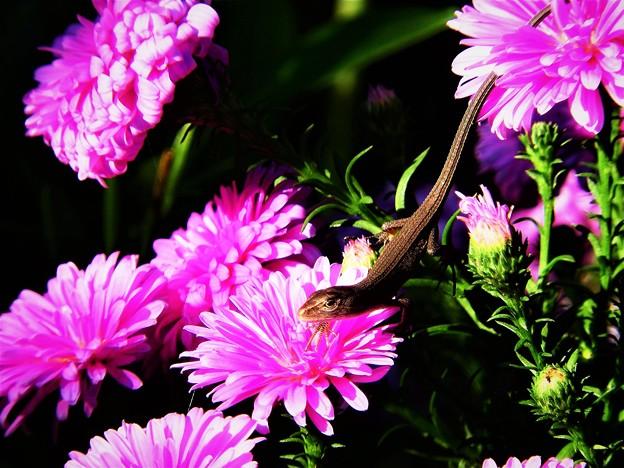 Photos: 花の上の生き物たちトカゲ