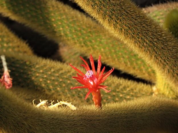 写真: サボテンの花2