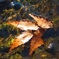 写真: 秋に見た風景 小川に浮かぶ落ち葉