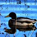 秋に出会った風景 鴨