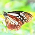 南の島で出会った蝶達1