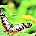 南の島で出会った蝶達2