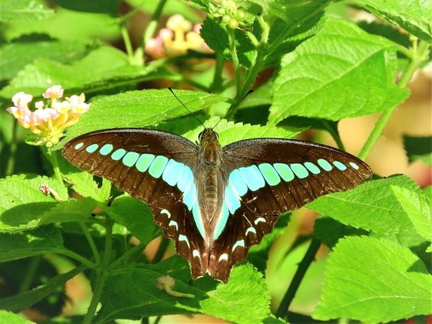 Photos: 南の島で出会った蝶達3