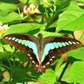南の島で出会った蝶達3