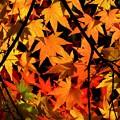 今日観た紅葉 もみじ