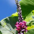 写真: 葛の花