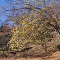 桜山の 蝋梅