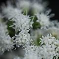 ユーパトリウム~~凄く小さいのと 白花 スーパ おばさん睨んでる撮れない