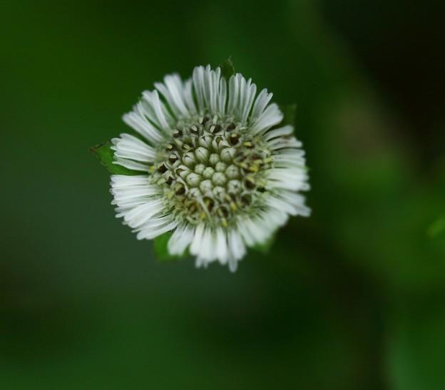 写真: タカサゴブロウ~1センチ弱