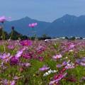 東員町コスモス畑 (2)