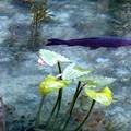 写真: モネの池 (4)