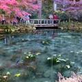 写真: モネの池 (6)