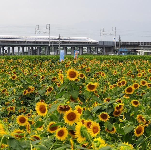 写真: ふぞろいの向日葵たち