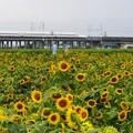 Photos: ふぞろいの向日葵たち