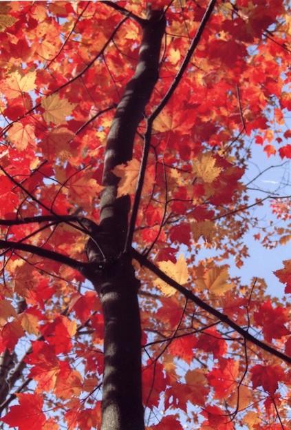 メープル・空を覆う赤