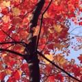 写真: メープル・空を覆う赤