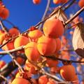 写真: 晩秋の柿
