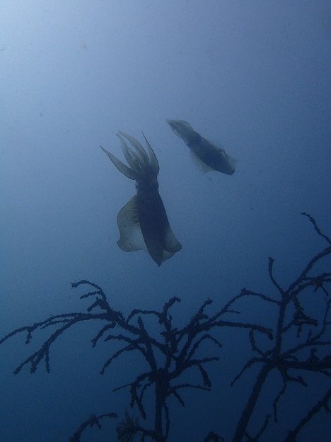 写真: アオリイカ産卵その3(オリンパスTG-3ワイドモード)