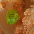 写真: 大瀬崎湾内(オリンパスTG-3:顕微鏡モード)