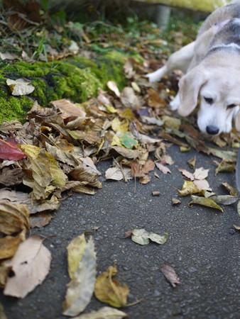 あたち、カシャカシャする葉っぱの上歩くの大ちゅきでちゅ