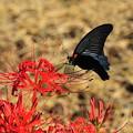 彼岸花と蝶-2