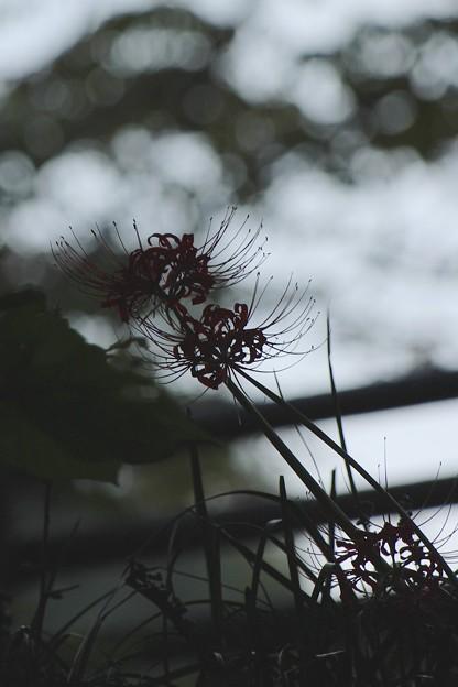 彼岸花~赤い花~♪