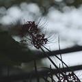 写真: 彼岸花~赤い花~♪