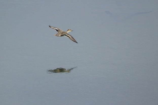 カルガモさん~飛ぶ~♪