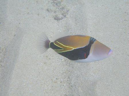 ハナウマの魚