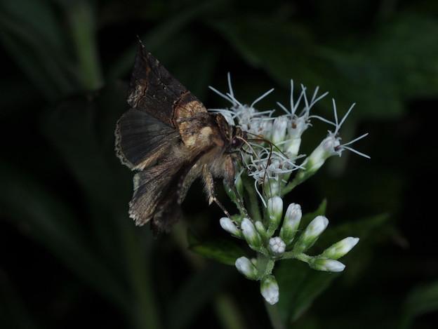 キンウワバ亜科 Abrostola属 sp.  171009h 8561