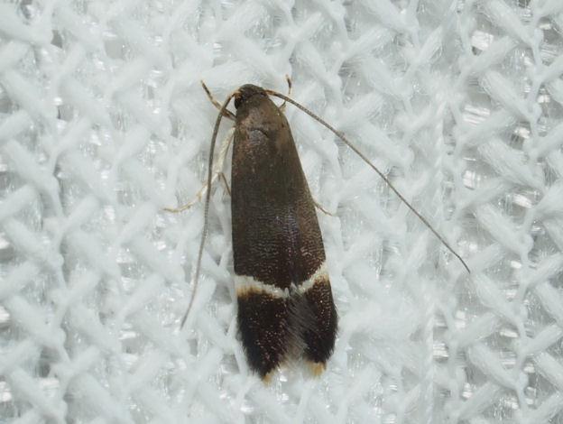 メンコガ亜科 sp