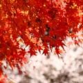 写真: 紅葉狩りとお花見