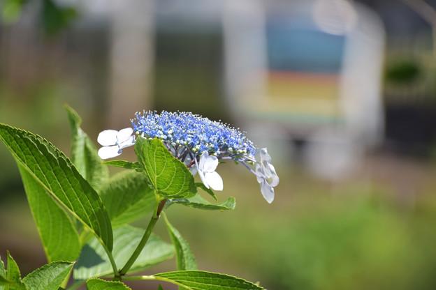 沿線の紫陽花