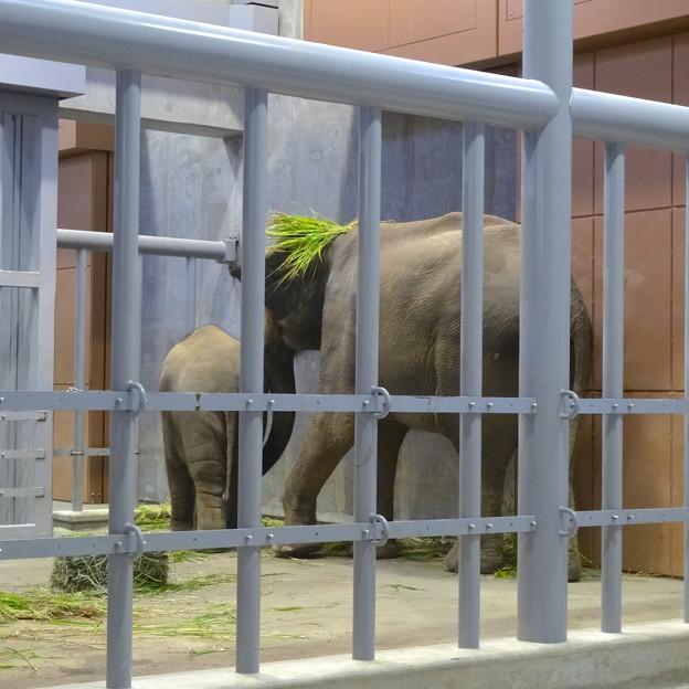 食べ物をなぜか頭に載せる、アジアゾウの親 - 1