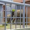 Photos: 食べ物をなぜか頭に載せる、アジアゾウの親 - 1