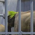 Photos: 食べ物をなぜか頭に載せる、アジアゾウの親 - 2