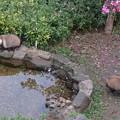 写真: 東山動植物園のタヌキ - 2
