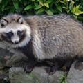 写真: 東山動植物園のタヌキ - 3