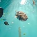 Photos: 名古屋港水族館 - 32:可愛らしい、ハリセンボンの子供?