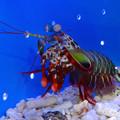 Photos: 名古屋港水族館 - 40:けばけばしい風体の、モンハナシャコ