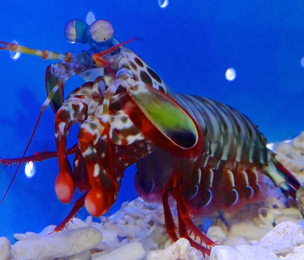 名古屋港水族館 - 41:けばけばしい風体の、モンハナシャコ