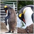 写真: 東山動植物園:夕方毛づくろいをするオウサマペンギン