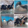 写真: 東山動植物園:仲良く毛づくろいをし合う、イワトビペンギンの…カップル? - 1
