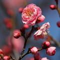 紅梅も咲いてたw