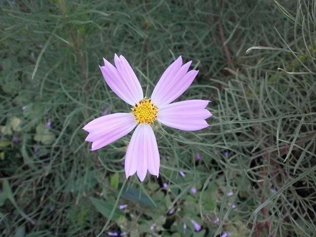 写真: 5枚花びらのコスモス