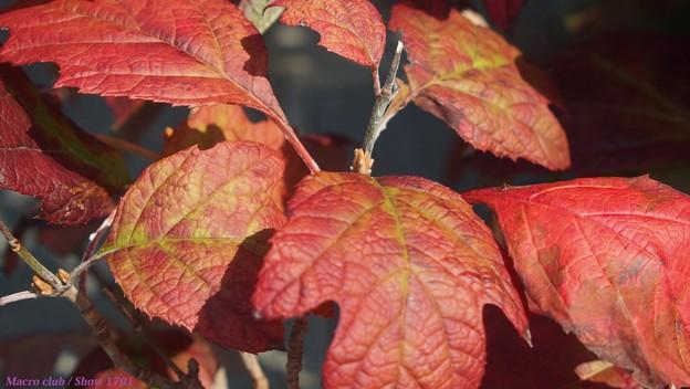 紅葉する柏葉紫陽花 2017