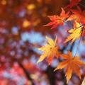 「 ひらり 」 植物公園のもみじ林の紅葉 2017