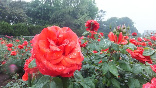 バラの花5